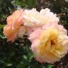 rosas amarillo pálido (Retiro)
