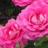 rosas del retiro