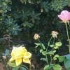 rosas (rosa y amarilla)